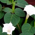 名前がわからない白い花。