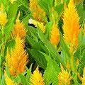 秋を彩る鶏頭の花。写真は黄色い鶏頭です