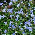 宝塚「花の道」に咲く小さな青い花。