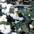 白い花をいっぱいに付けたさざんかの木。冬枯れの公園に彩りを添えています。