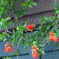 オレンジ色のザクロの花。