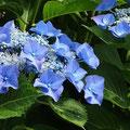 清々しいブルーの額アジサイの花。宝塚「花の道」にて。