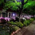 夜の宝塚「花の道」白やピンク紫のつつじが満開です。