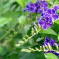 「デュランタ・宝塚」の紫の花。花弁の淵は白でフリルのようになっています。