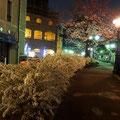 満開の雪柳の花と桜が美しい、夜の宝塚「花の道」。