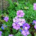 暑さに負けず紫の花をつけているバーベナ。 宝塚「花の道」にて撮影。