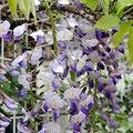 桜が終われば、次は藤の季節です。 薄紫の花が、長い房となって下がっている様子はとても美しいです。