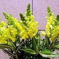 春を待ちかねるような鮮やかな黄色のストックの花。森田空美流着付け教室にて。