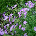 石垣の隙間から顔を出した撫子の花。可憐に見えて力強いのですね。