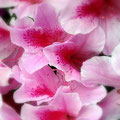 ピンクのつつじの花が満開です。