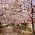 宝塚「花の道」の桜。5分咲きぐらいです。