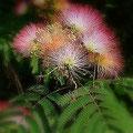 ねむの木の花。ピンクの部分はおしべが.集まったもの。