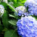 梅雨を迎えて色鮮やかなアジサイの花。