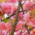 豪華な八重桜の花が満開です。たっぷり感がいいですね。宝塚大劇場正面の桜です。