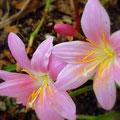 ピンクの美しい花。葉より花が先に出ます。