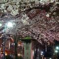 夜の宝塚「花の道」入口付近の写真。夜桜も素敵です。