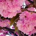 宝塚大劇場前の八重桜。たっぷりとした花が重たげです。