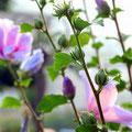 ピンクのむくげの花。宝塚花の道にて撮影しました。
