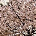 新入生を迎える、満開の桜。あいにくの雨ですが、まだまだ綺麗に咲いています。