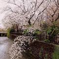 祇園白川にかかる、満開の桜の枝、川面に浮かぶ花びらまでが艶っぽいです。