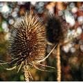 """N° 0083 P """"Distel im Herbst"""""""