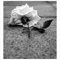 "N° 0001 SW   ""Rose auf dem Gehweg"""