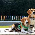 zwei Beagle im Biathlonstadion