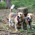 hungrige Beagle?