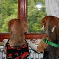 zwei neugierige Beagle