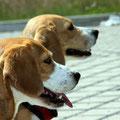 die Beaglebande