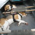 zwei Beagle fix und fertig