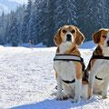 stolze Beagle