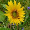 Sonnenblume - der Himmel hielt dicht!  (pewe)
