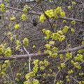 Blühender Hartriegel (am 16. Februar!) - Foto von Ingo P.