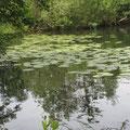 Mummeln (Teichrosen) - nicht nur im Mummelsee © I. P.