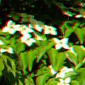 Blumenhartriegel an der Römerschanze