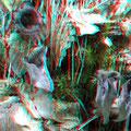 Toten- oder Herbsttrompete (Craterellus cornucopioides)