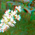 Ligusterblüte - man meint, den Duft zu spüren