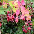 Brombeeren im Herbstschmuck