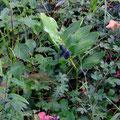 Das Salomonsiegel trägt Früchte, Foto pewe