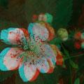 Brombeerblüte mit Besuch!