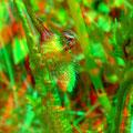 Spinne am Klatschmohn - Foto P. Welker