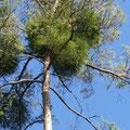 Scheinbar grüne Kiefern - aber leider rührt das Grün nur von den schmarotzenden Misteln - Foto Wolf Seidel