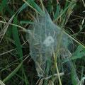 Spinne am Blatt - niemals matt!