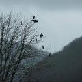Es sind gesellige Vögel - Foto P. Welker