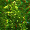Tulpenbaum-Blätter     (c) pewe