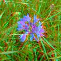 ...und eine Kornblume