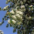Im Apfelblüten-Rausch (und immer noch fahrtüchtig!)