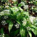 Bärlauch breitet sich aus (Allium ursinum)