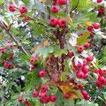 Rote Früchtchen im Grün des Weißdorns